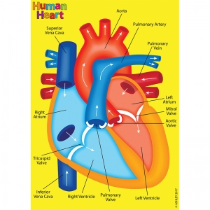 Foam Manipulatives Human Heart Model
