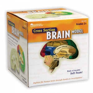 HUMAN BRAIN CROSSSECTION MODEL